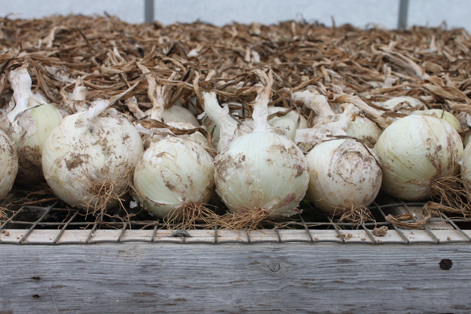 White Onions Curing in the Greenhouse